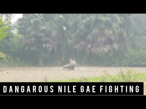 # 295 DANGAROUS NILGAI FIGHTING VILLAGE