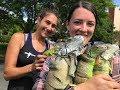 Beautiful Girls Cage Trap Wild lguanas! Iguana Solutions Iguana Hunting!