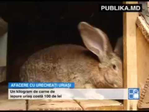 Afacere de invidiat! Un bărbat din Călăraşi creşte iepuri giganţi şi nu duce lipsă de clie