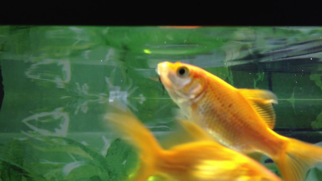 Goldfish tries to eat fly youtube for Golden fish pipe