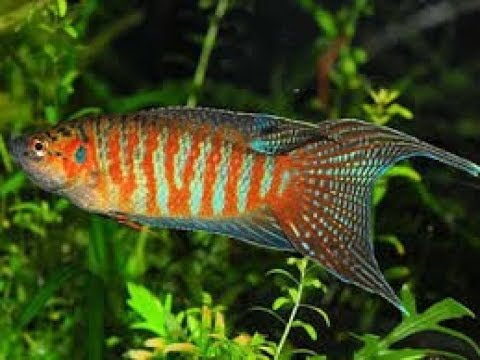 Paradise Fish/gouramis  And Goldfish... Could It Work?