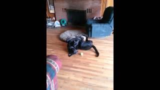 Sadey Dog Struggling To Get Ball