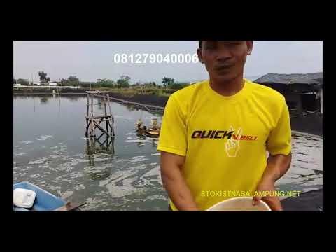 081279040006 Sukses Budidaya Udang Vaname Youtube