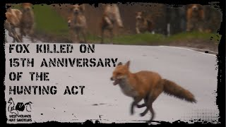Fox killed day after the 15th Anniversary of the Hunting Act