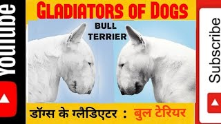 Bull terriers in India । Bull terrier breeder in India and contact no. । बुल टेरियर । (Vid 153)