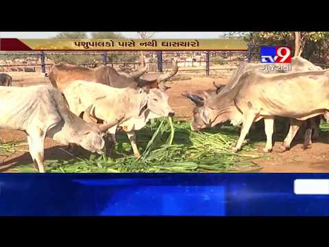 Gujarat : Inadequate fodder availability causing stress among cattle-breeders- Tv9