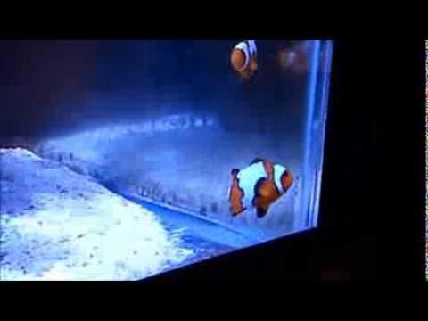 Odd Clownfish Behavior