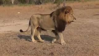 Luta de Leões - Briga feia entre macho e fêmea leva a um fim inesperado