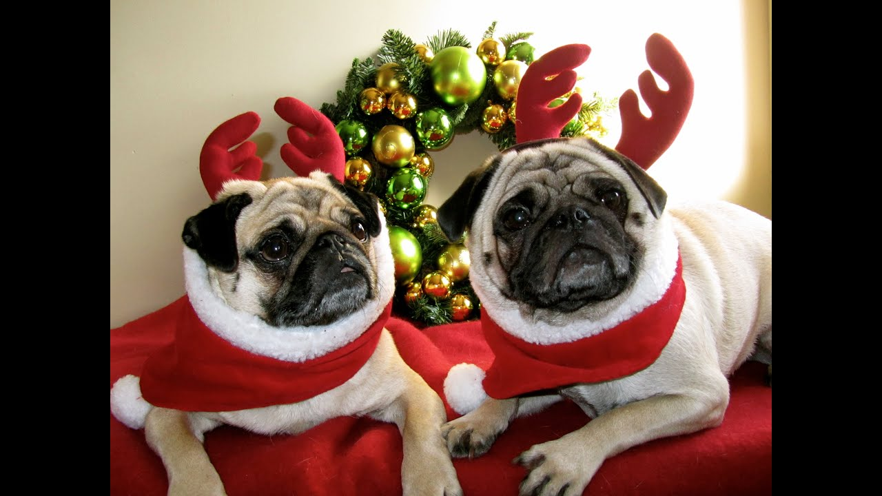 Cute Dachshund Wallpaper Christmas Pugs With Jingle Bells Carol Youtube