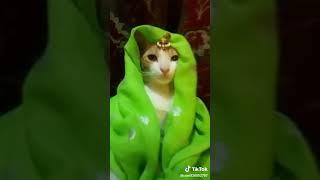 Funny video cat