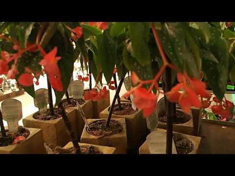 Begonia maculata 'Tamaya'
