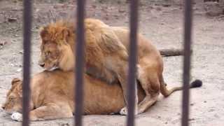 ПРИКОЛ СО ЛЬВОМ ЛЕВ КОНЧАЕТ =))  FUN WITH LION LION ends