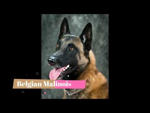 Belgian Malinois   Top 10 Interesting Facts