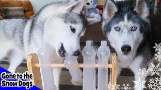 Testing My Dog's Intelligence   Mystery Box Unboxing from Joey and Steel the Husky