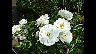 Rosa Branca Desmaiada - Musica Tradicional do Alentejo