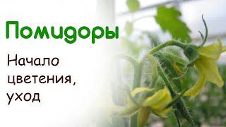 Помидоры начинают цвести. Продолжаем ухаживать за томатами(Расскажу про основной уход за помидорами в период цветения. Покажу как выглядят помидоры на данной стадии..., 2015-05-28T10:57:18.000Z)