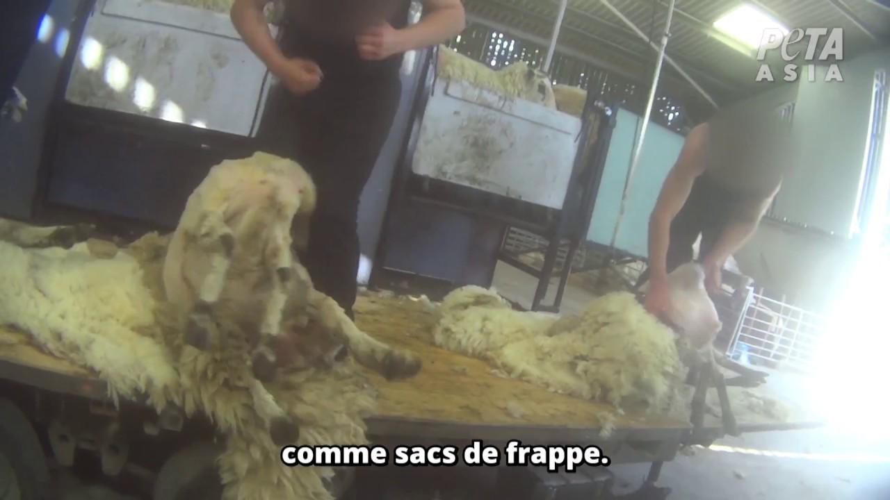 Cruauté extrême dans l'industrie de la laine en Angleterre