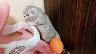 😻 Кошка просит поиграть 🐱 Шотландская вислоухая кошка Игры с Котенком Коты и Кошки
