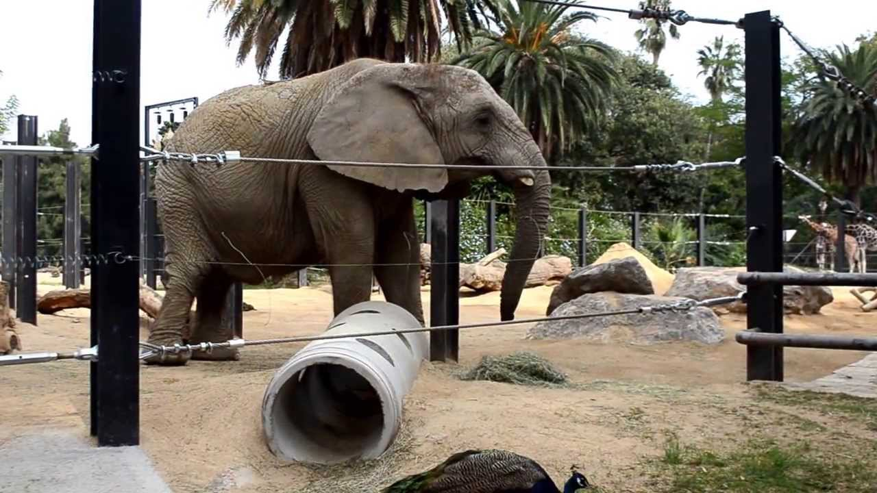 African elephant at barcelona zoo youtube for Elephant barcellona