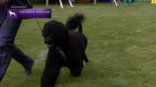Portuguese Water Dogs | Breed Judging 2021