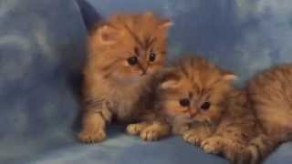 Teacup Golden Persian Kittens for Sale