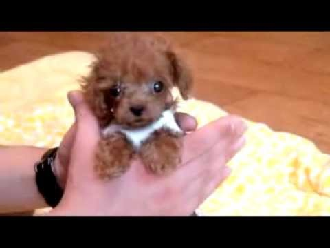 Sweet Little Teacup Poodle Puppy For Sale Teacup Puppy
