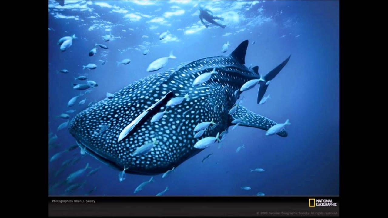 Скачать пение звуки китов