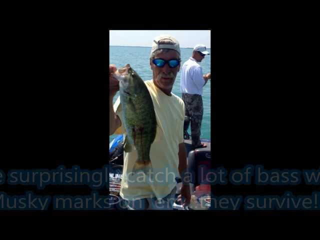 Musky eatin' smallmouth with Art of Fishing Guide Service