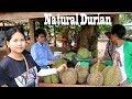 Fresh & Natural Durian Farm - Eating Durian Fruit At Som Lord Battambang Province In Cambodia