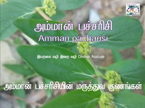 Amman Arisi - Natural cure for Pimples அம்மான் பச்சரிசியின்