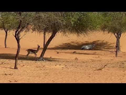 Dubai   Dubai Desert Conservation Reserve   Al Maha (Arabian Oryx) and Arabian Gazelle in the desert