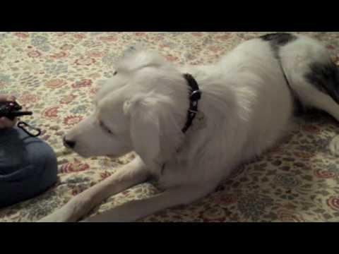 Training A Deaf Dog To Use A Vibrating Collar Youtube