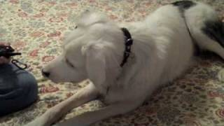 Training A Deaf Dog To Use A Vibrating Collar