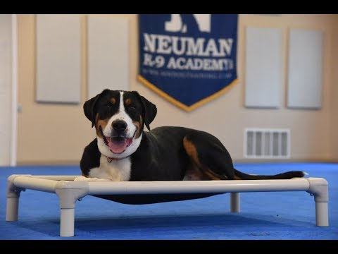 Rocky (Greater Swiss Mountain Dog) Boot Camp Dog Training Video Demonstration