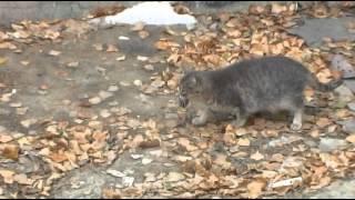Кошка  играет с мышкой. Кошки - мышки.cat plays with a mouse