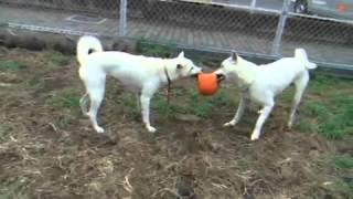 紀州犬「風」と「發」 親子でボールを奪い合ってます。母優性.