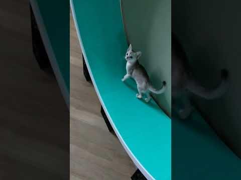 Kitten stunts on Kazami Catwheel