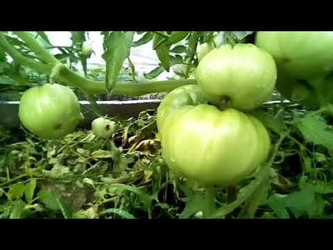 СИБИРСКИЕ СОРТА ПОМИДОРА  ЖЕНЬКА,КОРОЛЬ ЛОНДОН, БЕЗРАЗМЕРНЫЙ | помидор | сибирь