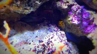 Crazy Jawfish