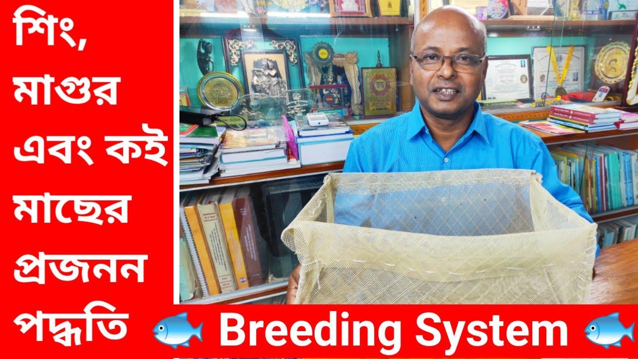 শিং, মাগুর এবং কই মাছের প্রজনন পদ্ধতি // Fish Breeding in Aquarium