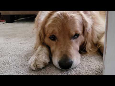 Oshie Misses Mom [4K] | One Take | Golden Retriever VLOG