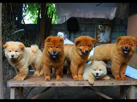 Puppies chow chow dogs breed collection