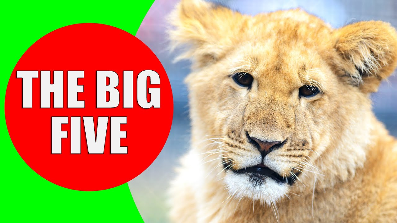 africa 39 s big five animals lion african buffalo rhinoceros elephant leopard sounds and. Black Bedroom Furniture Sets. Home Design Ideas