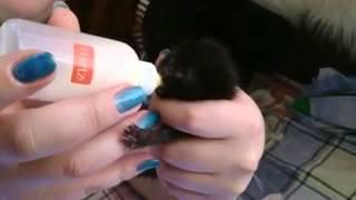 кормление котенка,11 дней