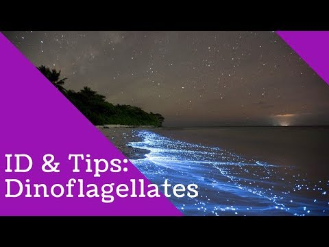 Dinoflagellates: Identification And Tips