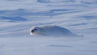 地吹雪の中のアザラシの赤ちゃん。ボクが「アザラシに産まれて辛いなあ」と思う日です。