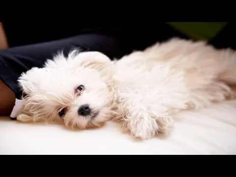 A dog breed who's gentle and fearless, the Maltese greets everyone as a friend