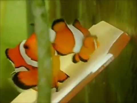 Clownfish Biology   Clownfish And Anemone -- Changing Sex