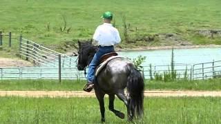 Cobalt - Quarter/Welsh Cross Pony
