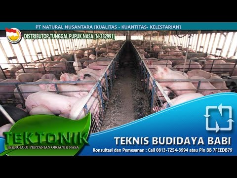 Teknis rahasia Cara Budidaya Ternak Babi Cepat Besar hanya 4 bulan Bag.1